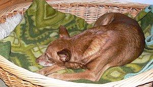 Sancho liegt in Heidis Korb.