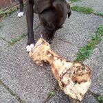 Hund knabbert am Riesenknochen
