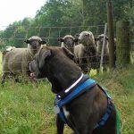Gina und Schafe
